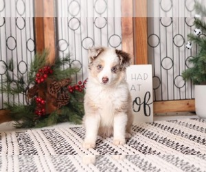 Miniature American Shepherd Puppy for sale in NAPLES, FL, USA