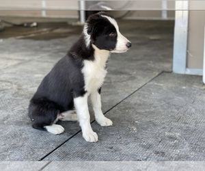 Collie Puppy for sale in ANTIOCH, CA, USA