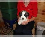 Puppy 6 Saint Bernard