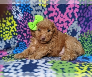Poodle (Toy) Dog for Adoption in LINCOLN UNIV, Pennsylvania USA