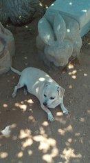 Bobo - Chihuahua / Mixed Dog For Adoption