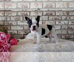 Puppy 3 Faux Frenchbo Bulldog