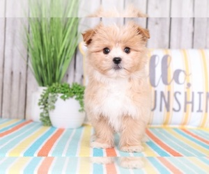 Pom-A-Poo Puppy for Sale in MOUNT VERNON, Ohio USA