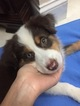 Australian Shepherd Puppy For Sale in POMPANO BEACH, FL, USA