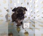 Puppy 5 Shorkie Tzu
