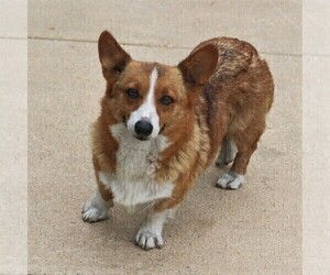 Mother of the Pembroke Welsh Corgi puppies born on 06/22/2019