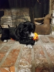 Aussiedoodle Puppy For Sale in SKYLAND, AL, USA