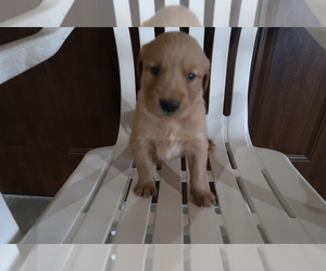 Golden Retriever Puppy for sale in TOLEDO, OH, USA