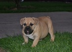 American bully Exotic