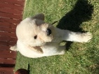 Poodle (Standard) Puppy For Sale in WARDEN, WA, USA