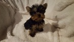 Yorkshire Terrier Puppy For Sale in WINDHAM, NH
