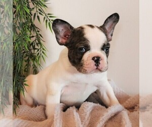 Faux Frenchbo Bulldog Puppy for sale in EAST EARL, PA, USA