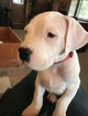 Dogo Argentino Puppy For Sale in CASTLE PINES, CO, USA