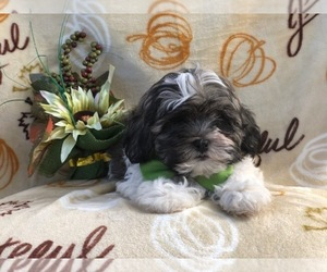Zuchon Puppy for sale in LAKELAND, FL, USA