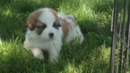 Newfoundland-Saint Bernard Mix Puppy For Sale in BERESFORD, SD, USA