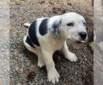 Small #7 Bernese Mountain Dog Mix