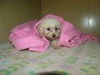 Maisy the mini Poodle