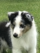 Shetland Sheepdog Puppy For Sale in FREDERICKSBURG, VA, USA
