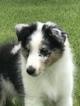 Shetland Sheepdog Puppy For Sale in FREDERICKSBURG, VA, USA