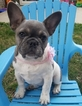 French Bulldog Puppy For Sale in HOUGHTON, WA, USA