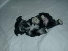 Schnauzer (Miniature) Puppy For Sale in TENAHA, TX,