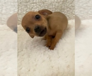 Chihuahua Puppy for sale in AURORA, CO, USA