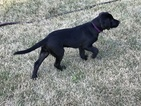 Labrador Retriever Puppy For Sale in MIDDLETOWN, IA, USA