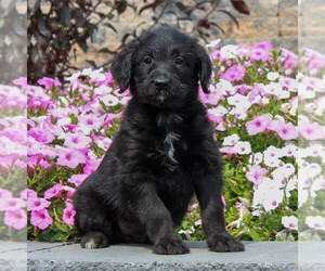 Shepadoodle Puppy for sale in HONEY BROOK, PA, USA