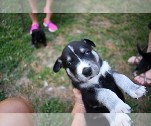 Labbe-Siberian Husky Mix Puppy for Sale in WHITTINGTON, Illinois USA
