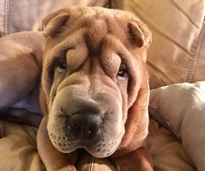 Father of the Chinese Shar-Pei puppies born on 12/15/2019