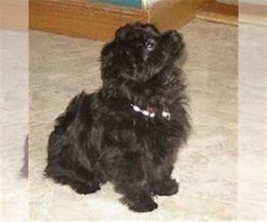 Poodle (Standard) Puppy for sale in MADISON, IN, USA