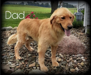 Father of the Golden Retriever puppies born on 04/24/2021