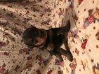 Airedale Terrier Puppy For Sale in TISHOMINGO, OK,