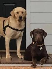 Mother of the Labrador Retriever puppies born on 04/15/2019