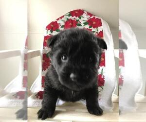 Akita-Poodle (Standard) Mix Puppy for sale in MISHAWAKA, IN, USA