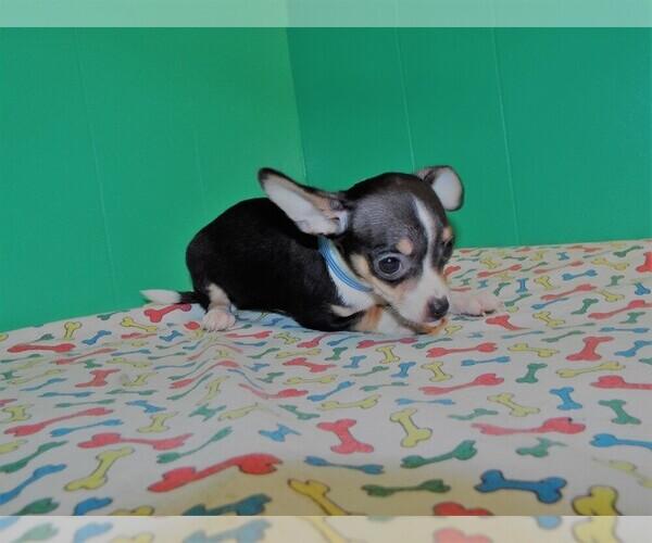 Medium Photo #1 Chihuahua Puppy For Sale in PATERSON, NJ, USA