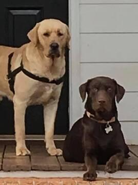 Medium Photo #1 Labrador Retriever Puppy For Sale in MONROE, GA, USA