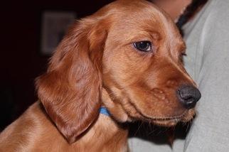 Irish Setter Puppy For Sale in DELRAN, NJ