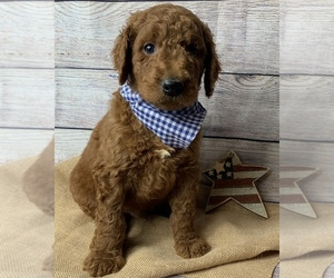 Goldendoodle-Poodle (Standard) Mix Puppy for sale in MILLCREEK, MO, USA