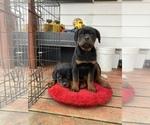 Small #7 Rottweiler