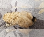 Small Photo #6 Zuchon Puppy For Sale in SHAWNEE, KS, USA