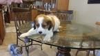 Nederlandse Kooikerhondje Puppy For Sale in HIALEAH, FL, USA