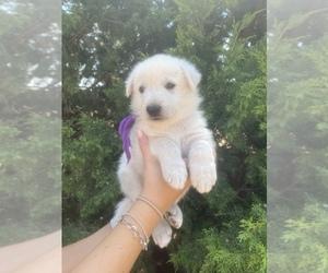 German Shepherd Dog Puppy for sale in PETERSBURG, TX, USA