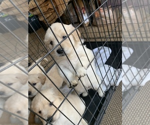 Golden Retriever Puppy for sale in OXNARD, CA, USA