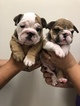 English Bulldog Puppy For Sale in PLEASANTON, CA, USA