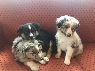 Australian Shepherd Puppy For Sale in HENRY, VA, USA