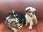 Australian Shepherd Puppy For Sale in HENRY, VA, USA
