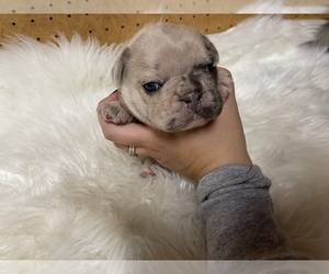 French Bulldog Puppy for sale in PUYALLUP, WA, USA