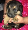 German Shepherd Dog Puppy For Sale in JEFFERSON, OR