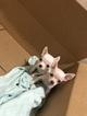 Chihuahua Puppy For Sale in BUFFALO, NY, USA